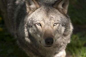 The Wolf surnames most commonly derive from a word meaning wolf.