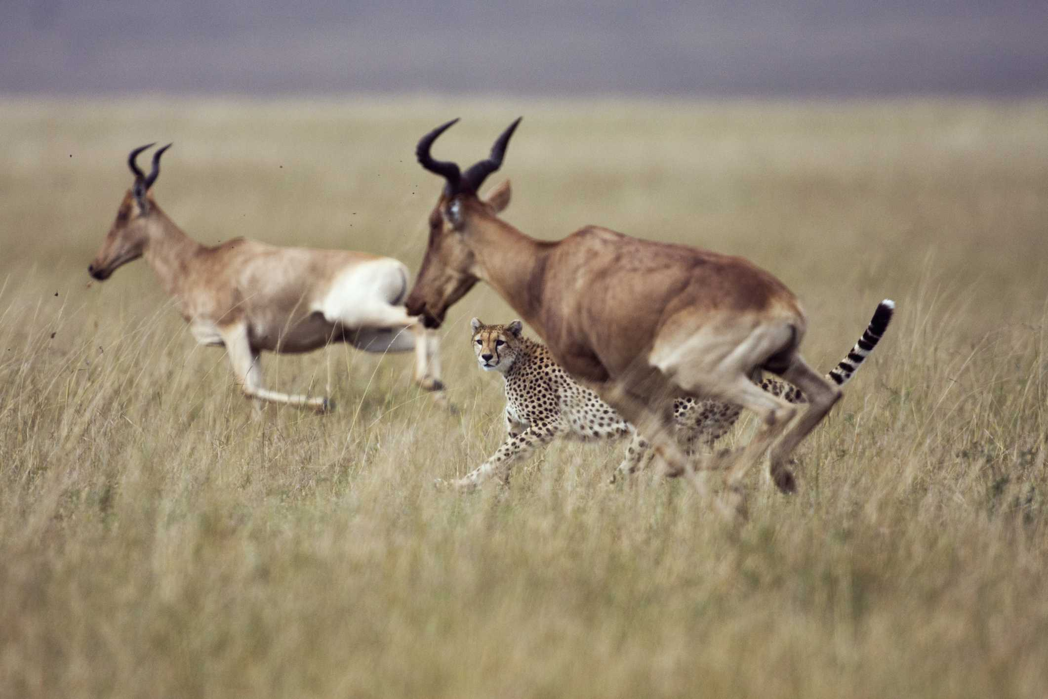 Cheetah chasing topi