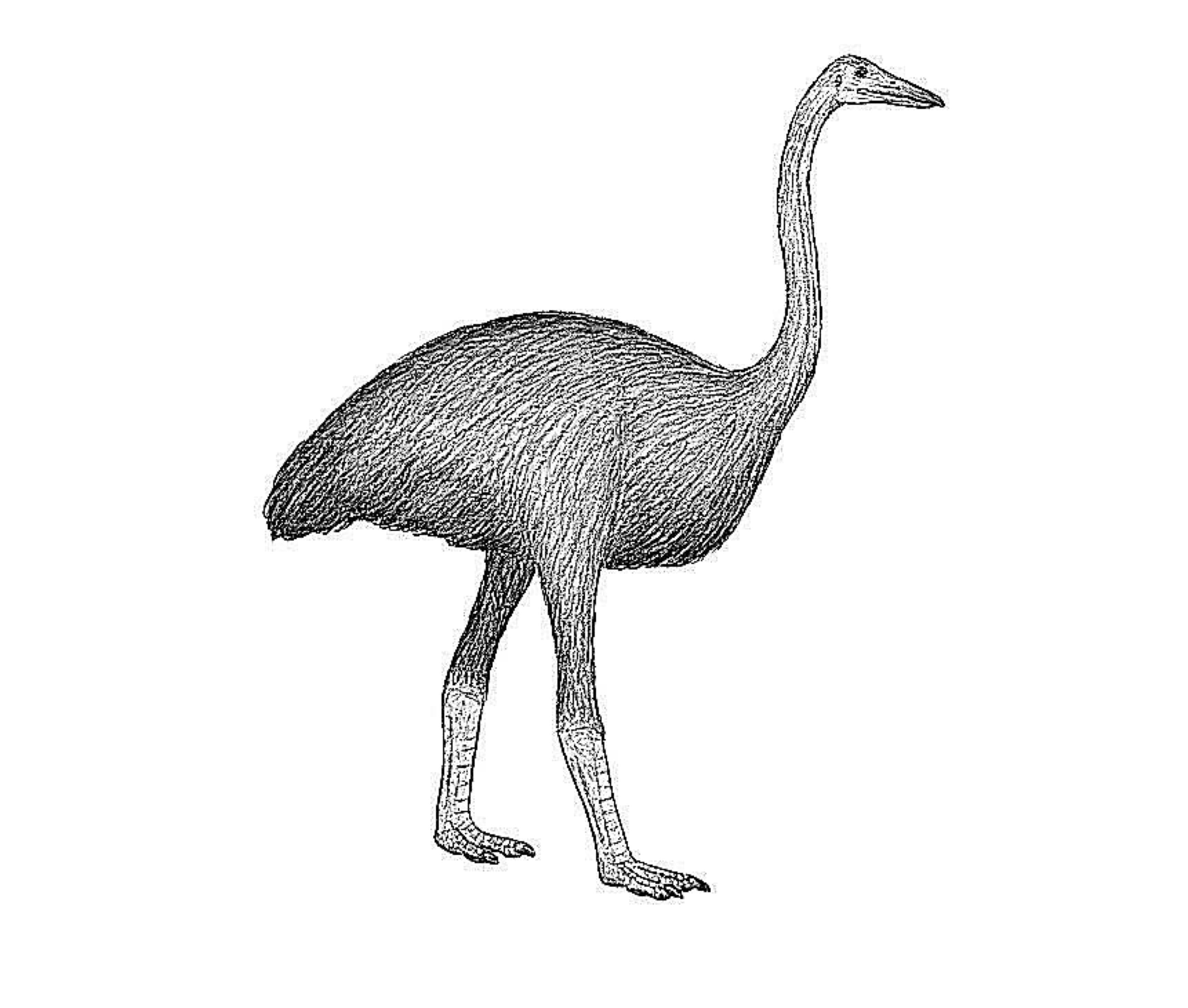 10 Interesting Facts About Giant Elephant Birds