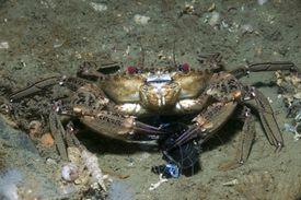 Velvet crab eating blue mussel