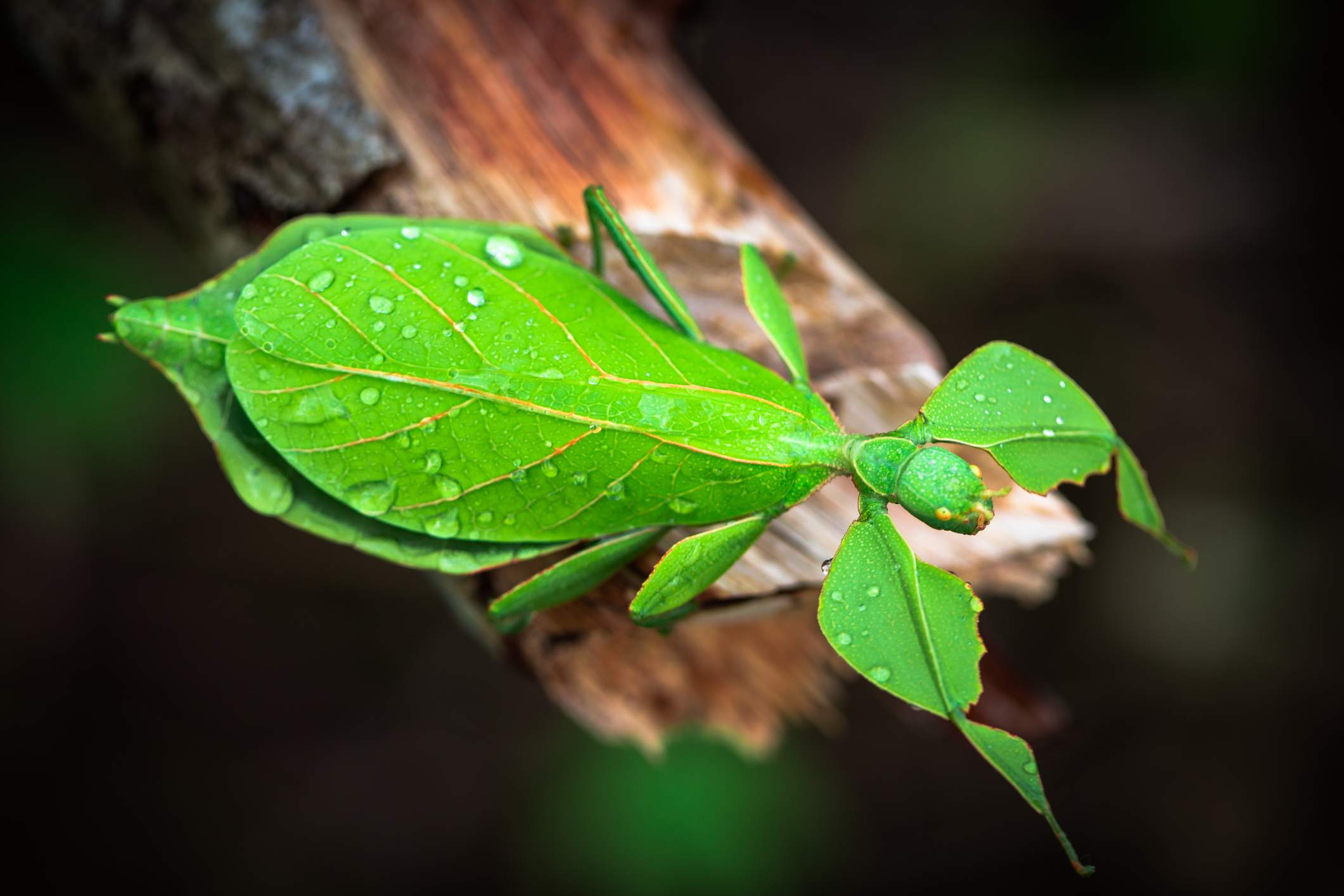 Green leaf insect perched on a branch.