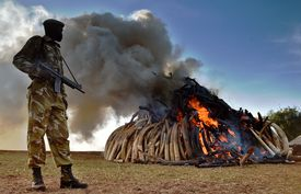 A Kenya Wildlife Services (KWS) officer stands near a burning pile of 15 tonnes of elephant ivory