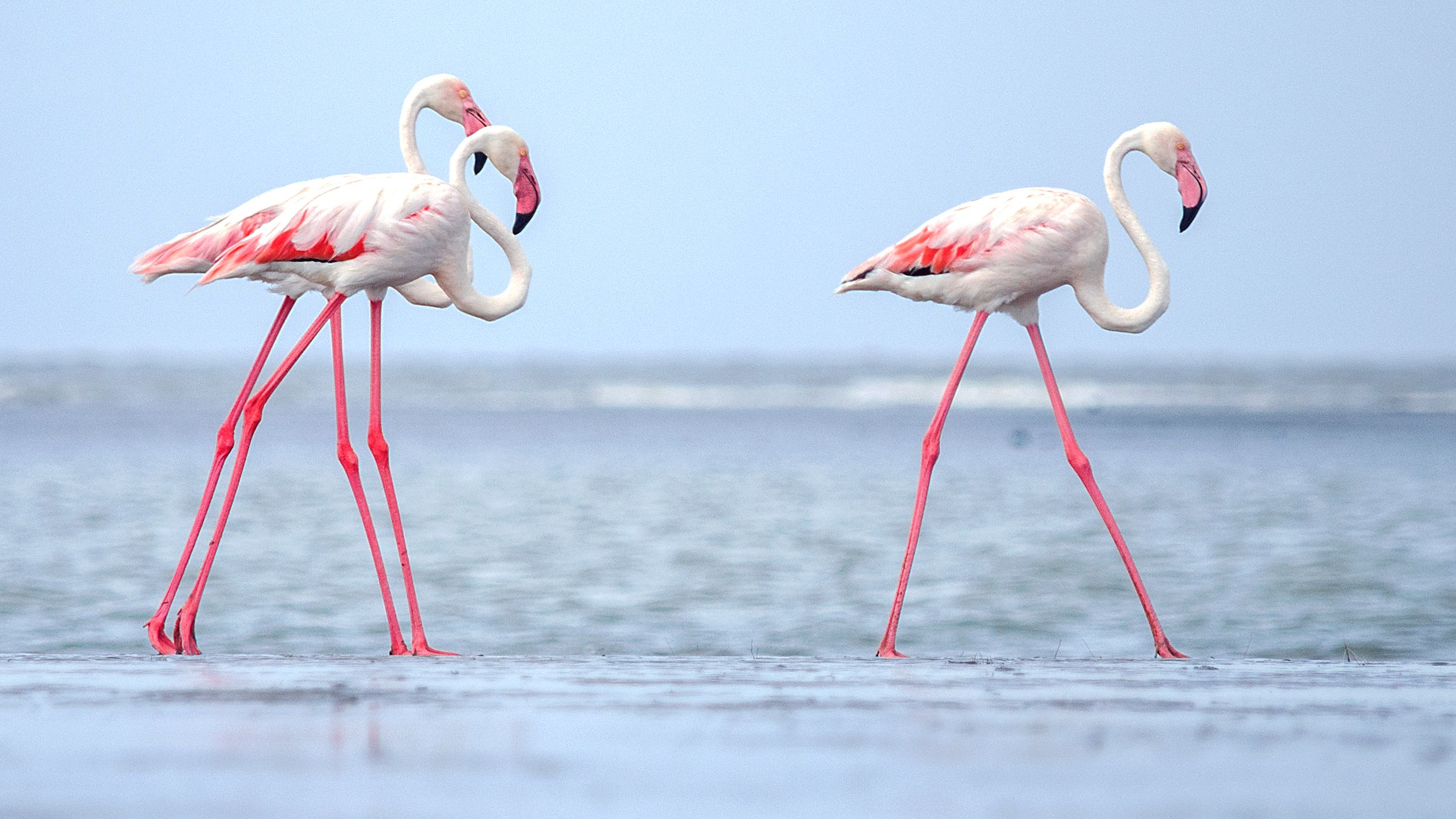 Flamingo Facts (Phoenicopterus)