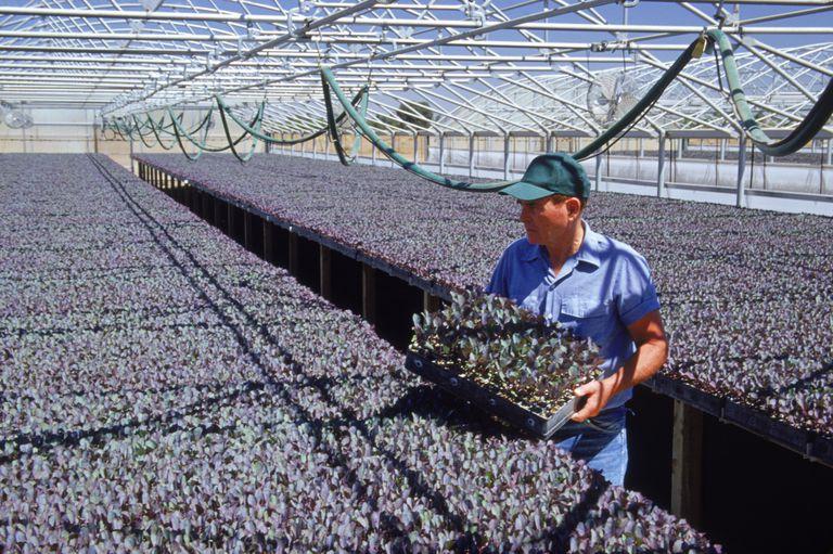 Trabajador en invernadero agrícola