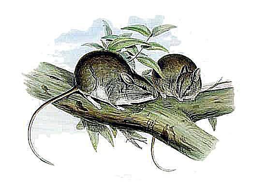 Lesser stick nest rat