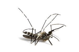 Most people believe the only good mosquito is a dead mosquito.