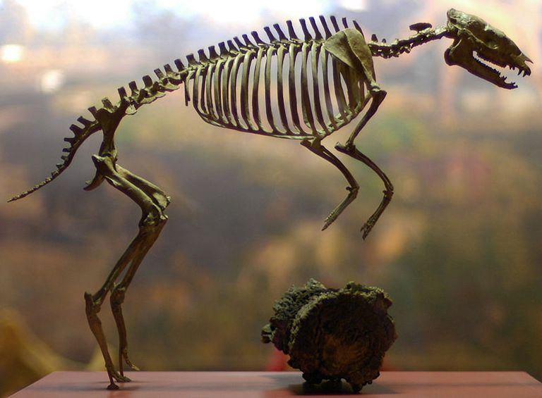 Skeleton of Eohippus