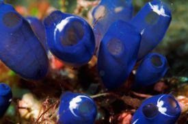 Underwater scene of blue tunicates (Rhopalaea crassa), Sulawesi, Indonesia