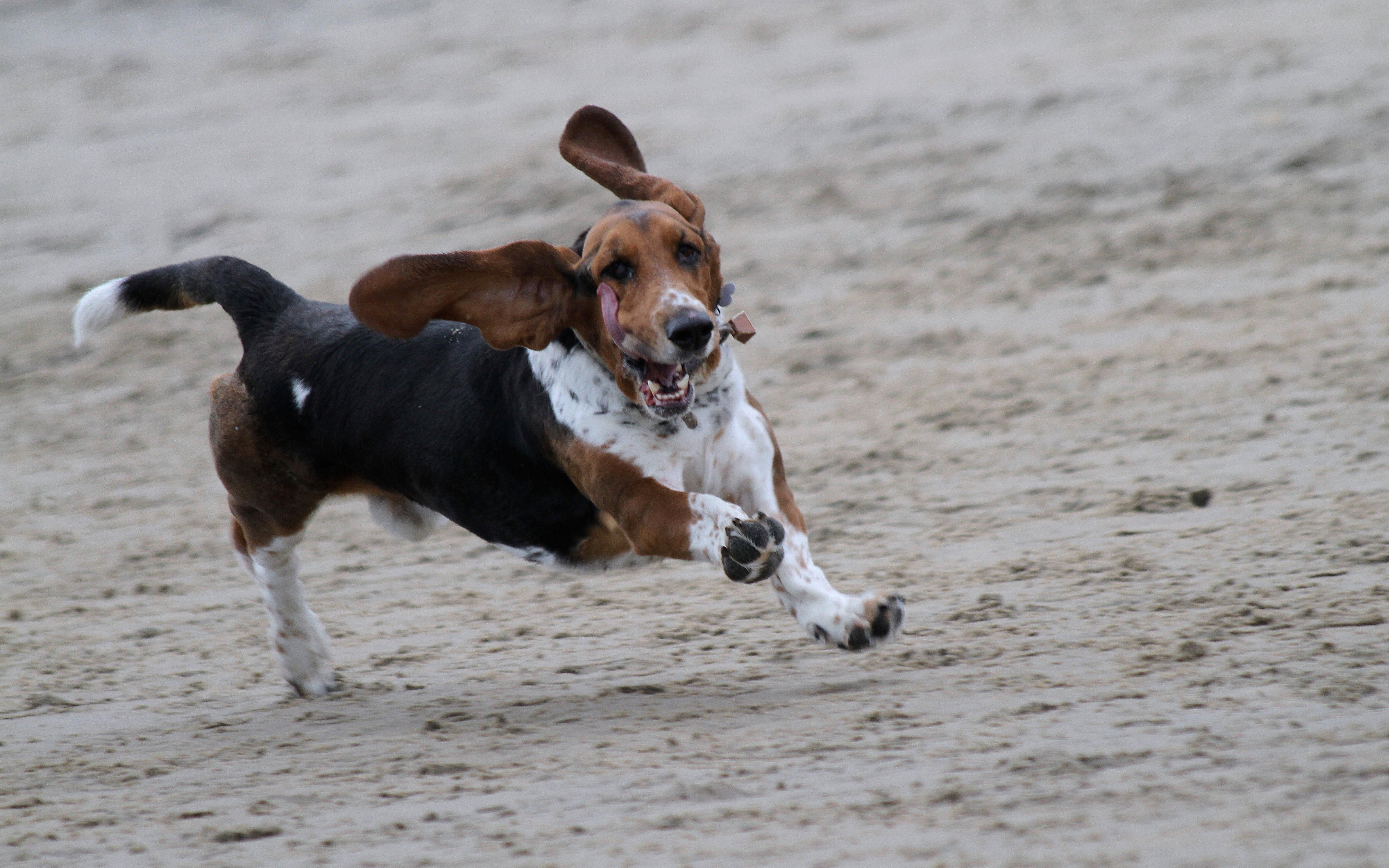 Running dog with bell on neck.