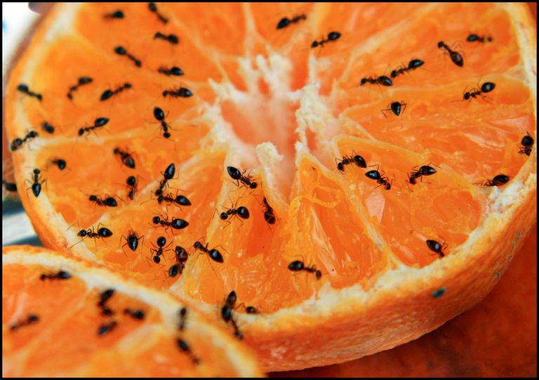 Ants on an orange