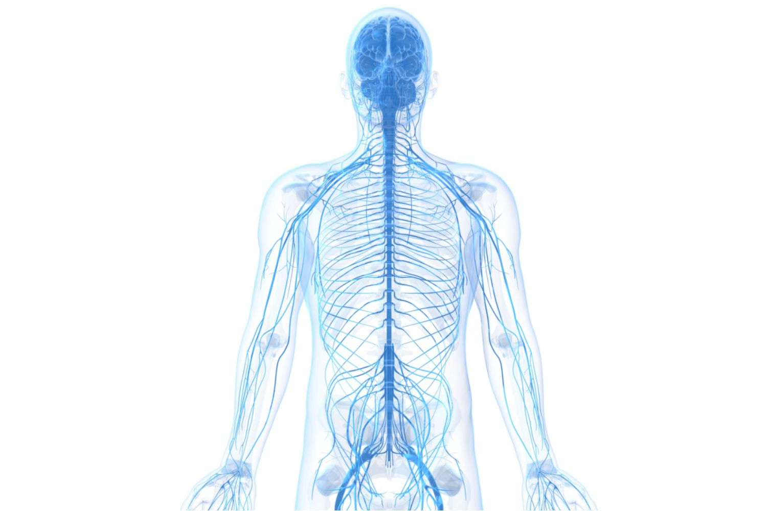 The Peripheral Nervous System and What it Does