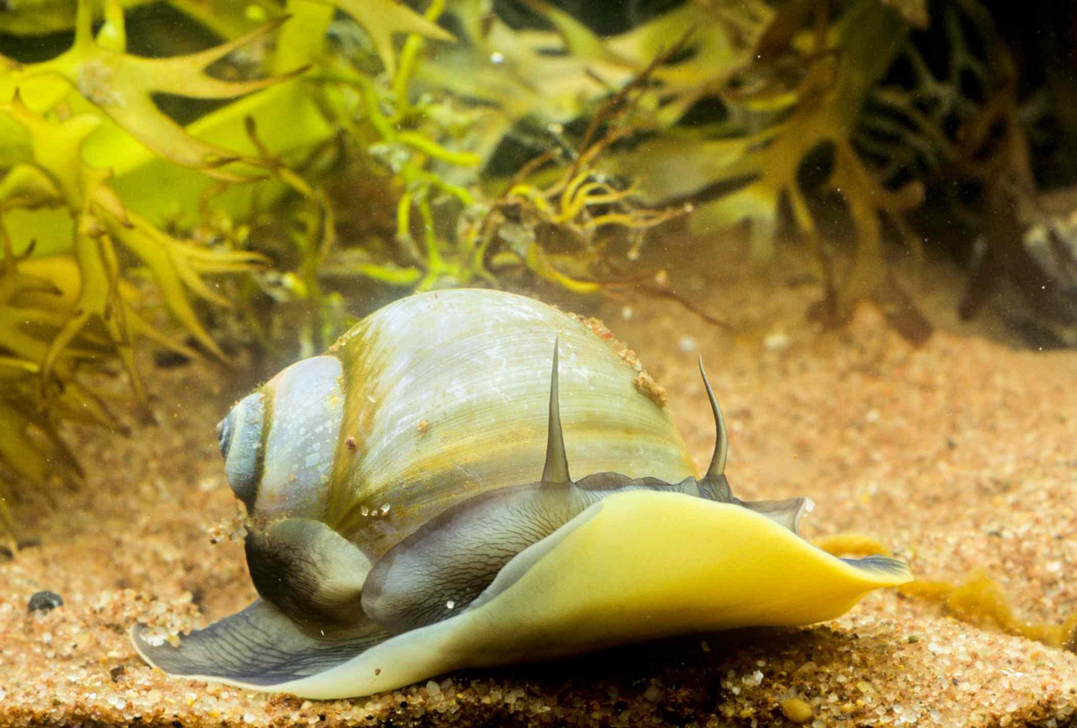 Atlantic Moon Snail (Neverita duplicata)