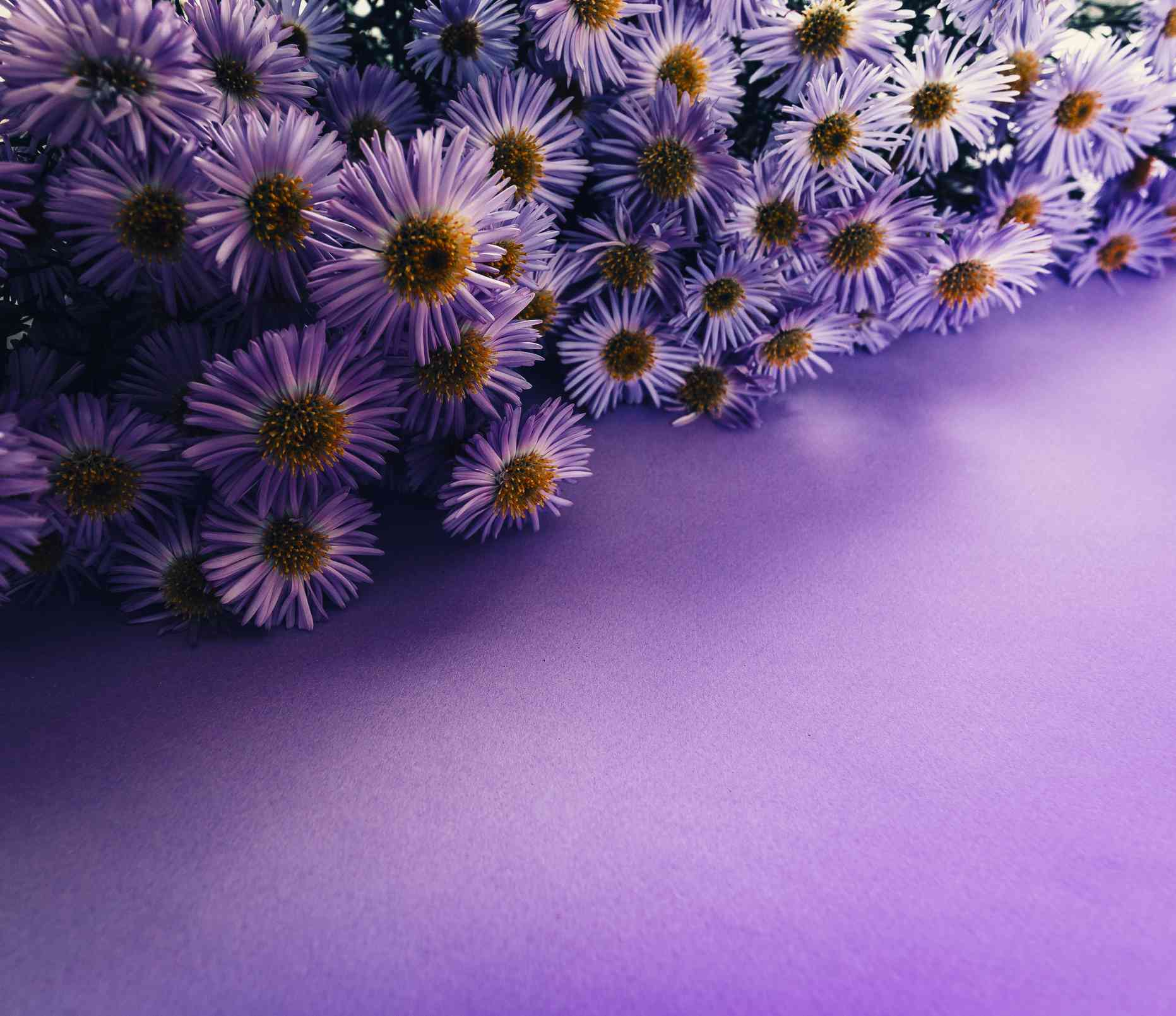 Violet aster flowers on white wood background with copy space