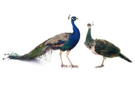 Indian or blue peafowl male (peacock) and female (peahen)