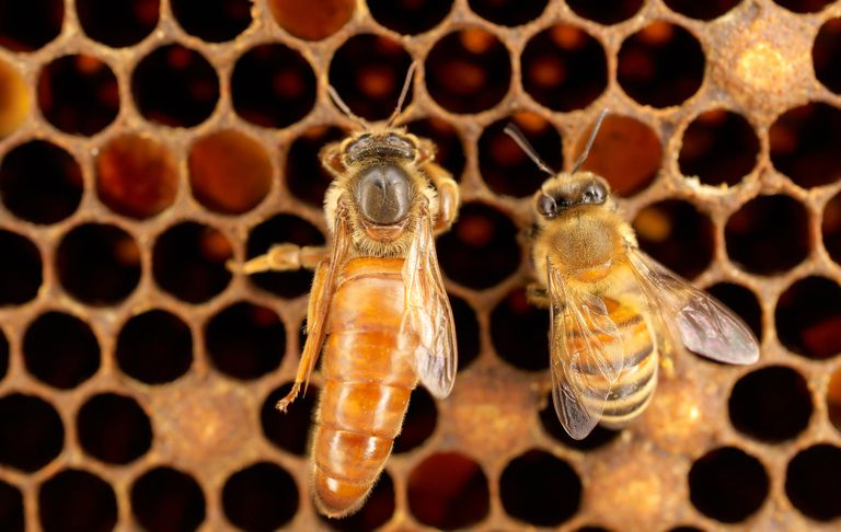 macro view of queen and worker bees in hive