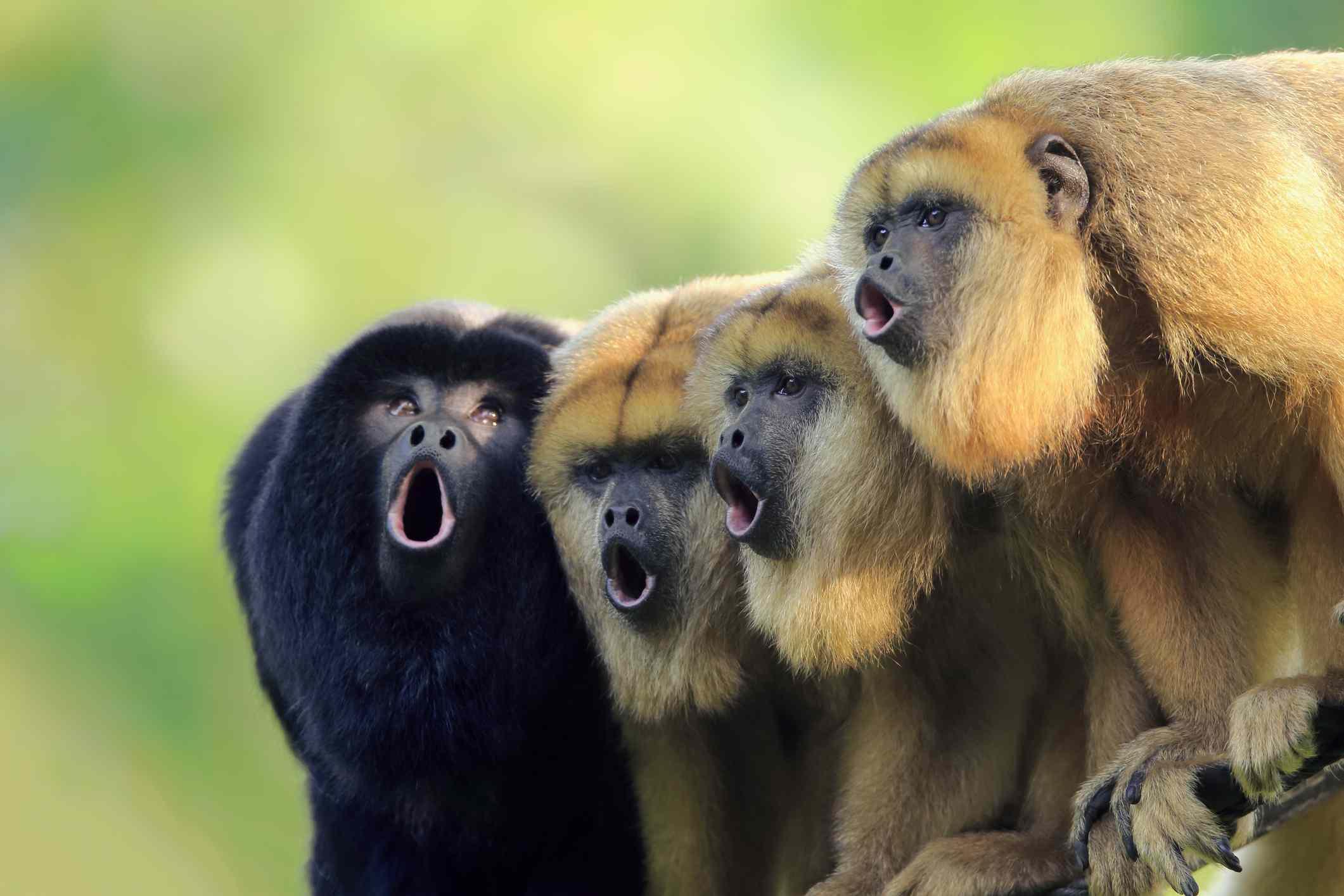 Male and female howler monkeys