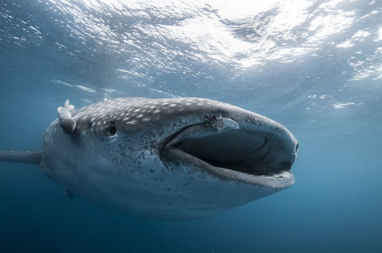 10 fun facts about whale sharks underwater front view of whale shark feeding mouth open isla mujeres mexico altavistaventures Image collections