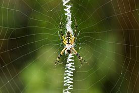 Black and yellow garden spider.