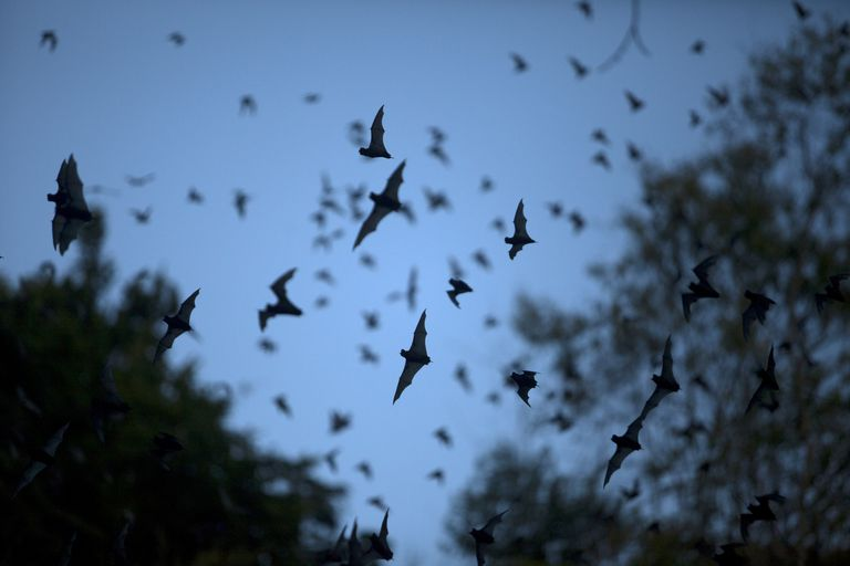 Bat Sounds: What Noise Do Bats Make?
