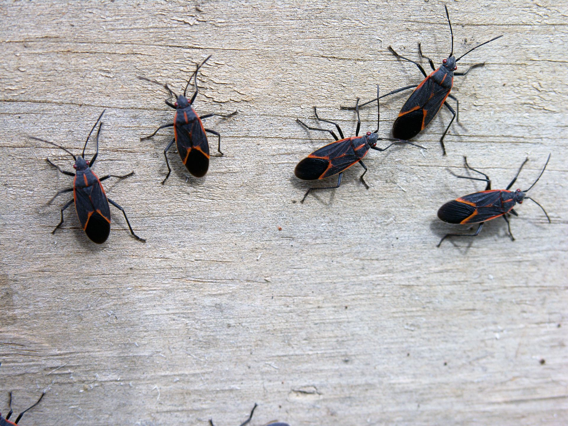 How Do I Control Box Elder Bugs in My House?