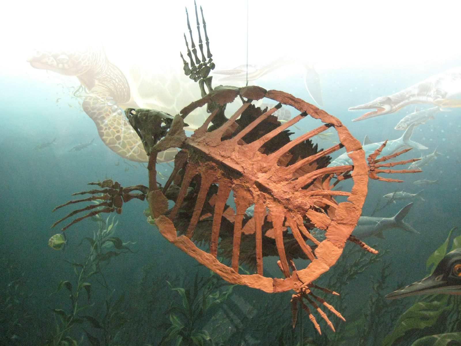 Mounted skeleton of Protostega turtle.