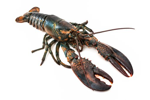 Lobsters and other decapods are different from vertebrates, but they likely feel pain.