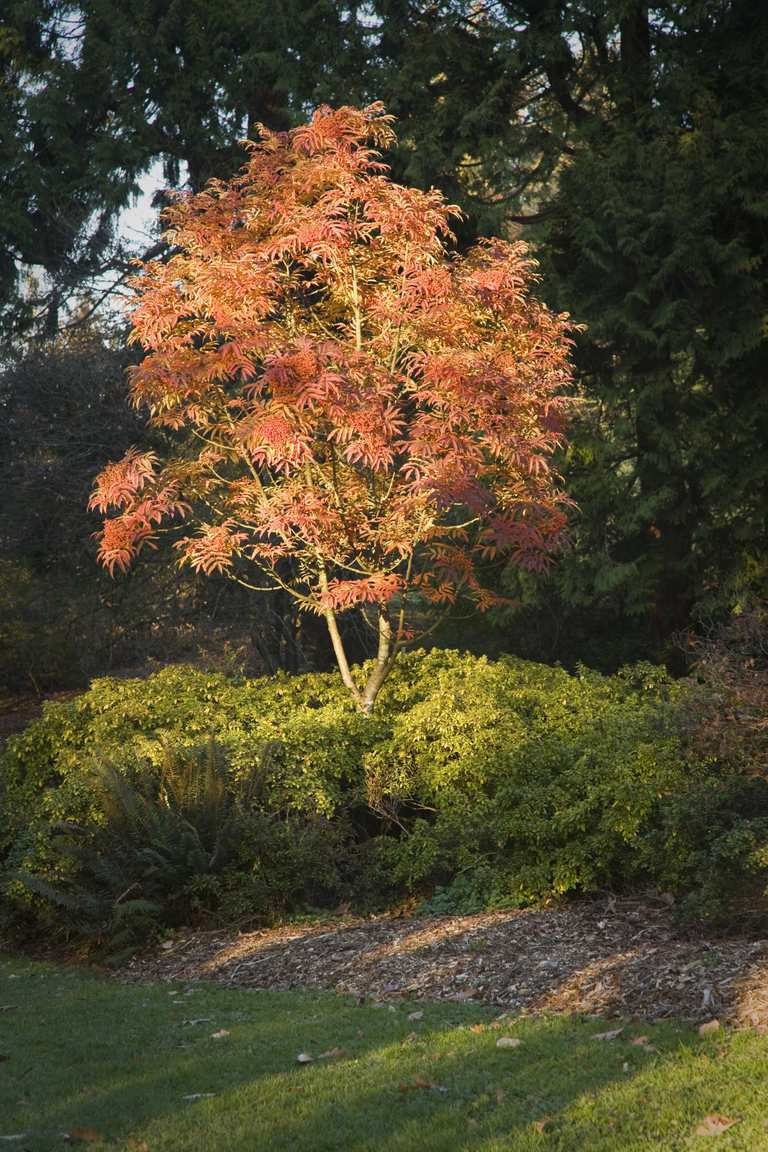 Sargents rowan tree