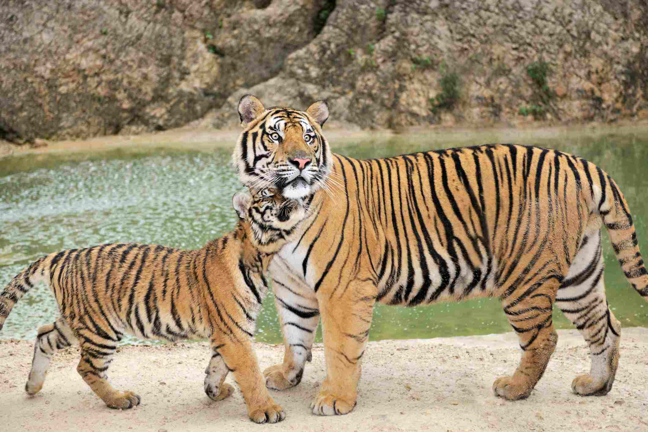 Full grown Bengal Tiger watching over his Cub