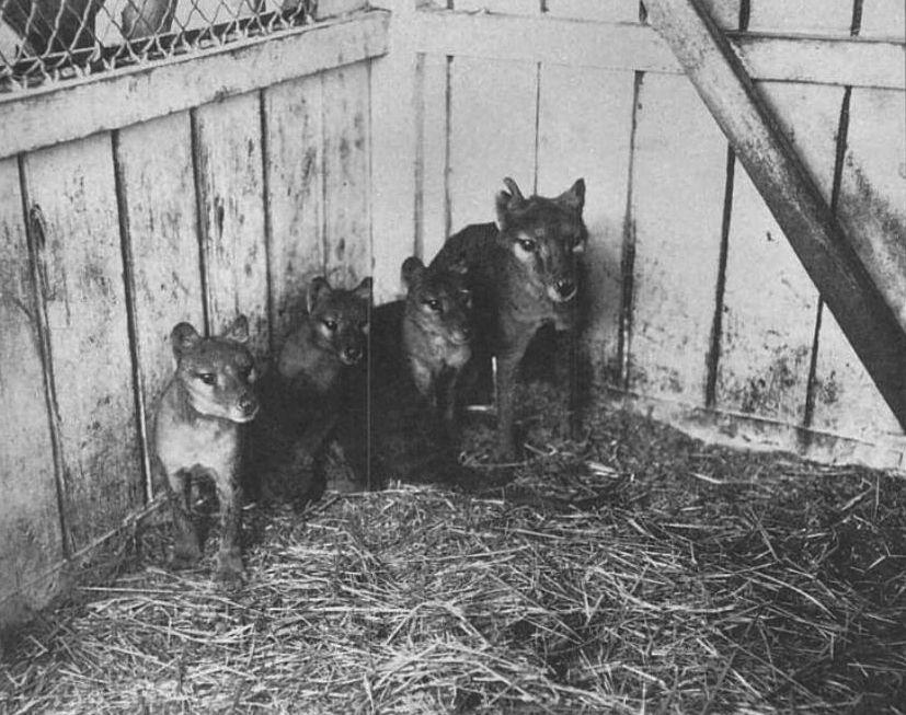 Thylacine with three cubs, Hobart Zoo, 1909