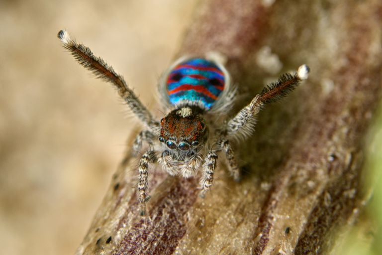 Peacock Spider Facts