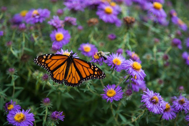 Monarch butterfly on purple aster.