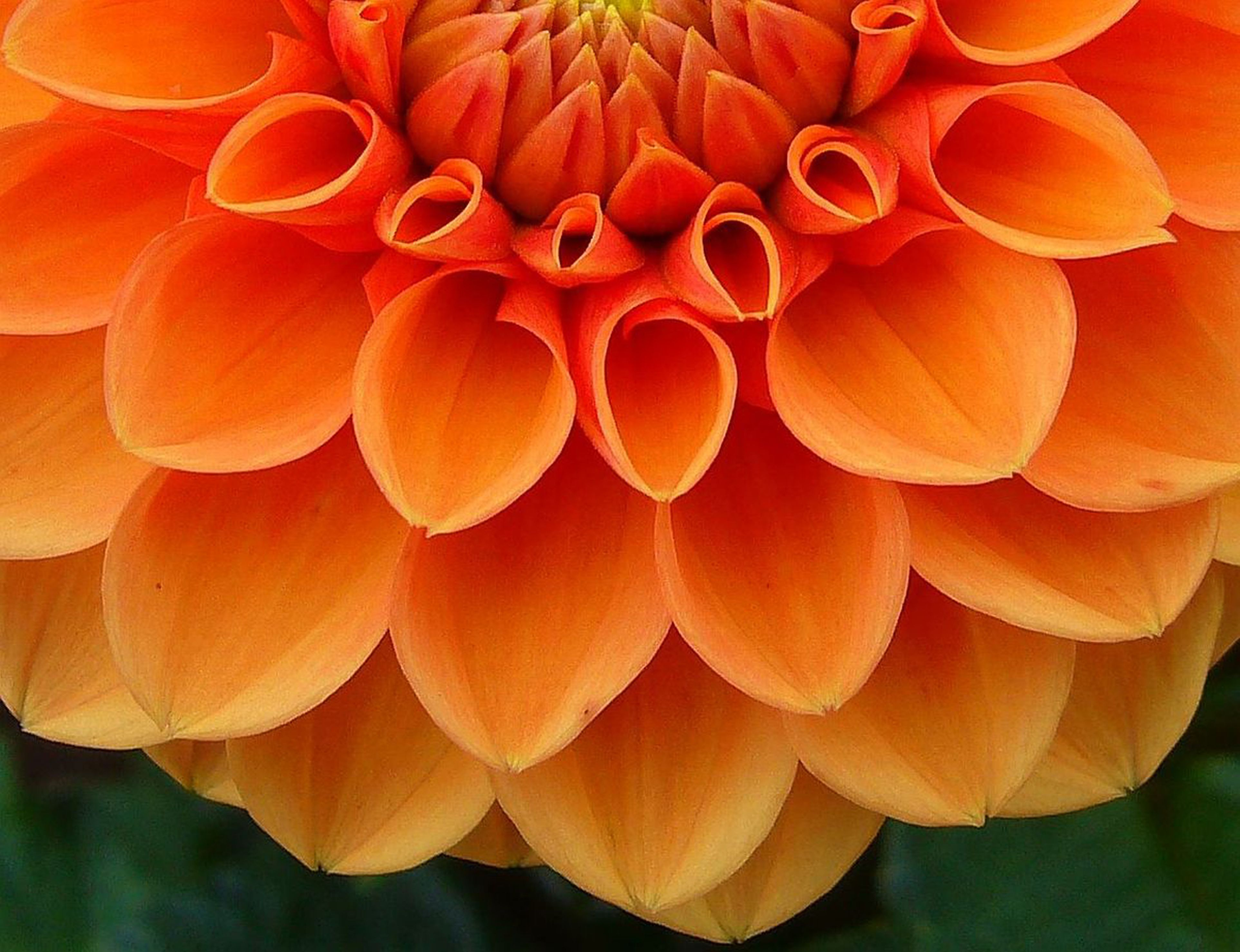 Dahlia sunkist orange honeycomb