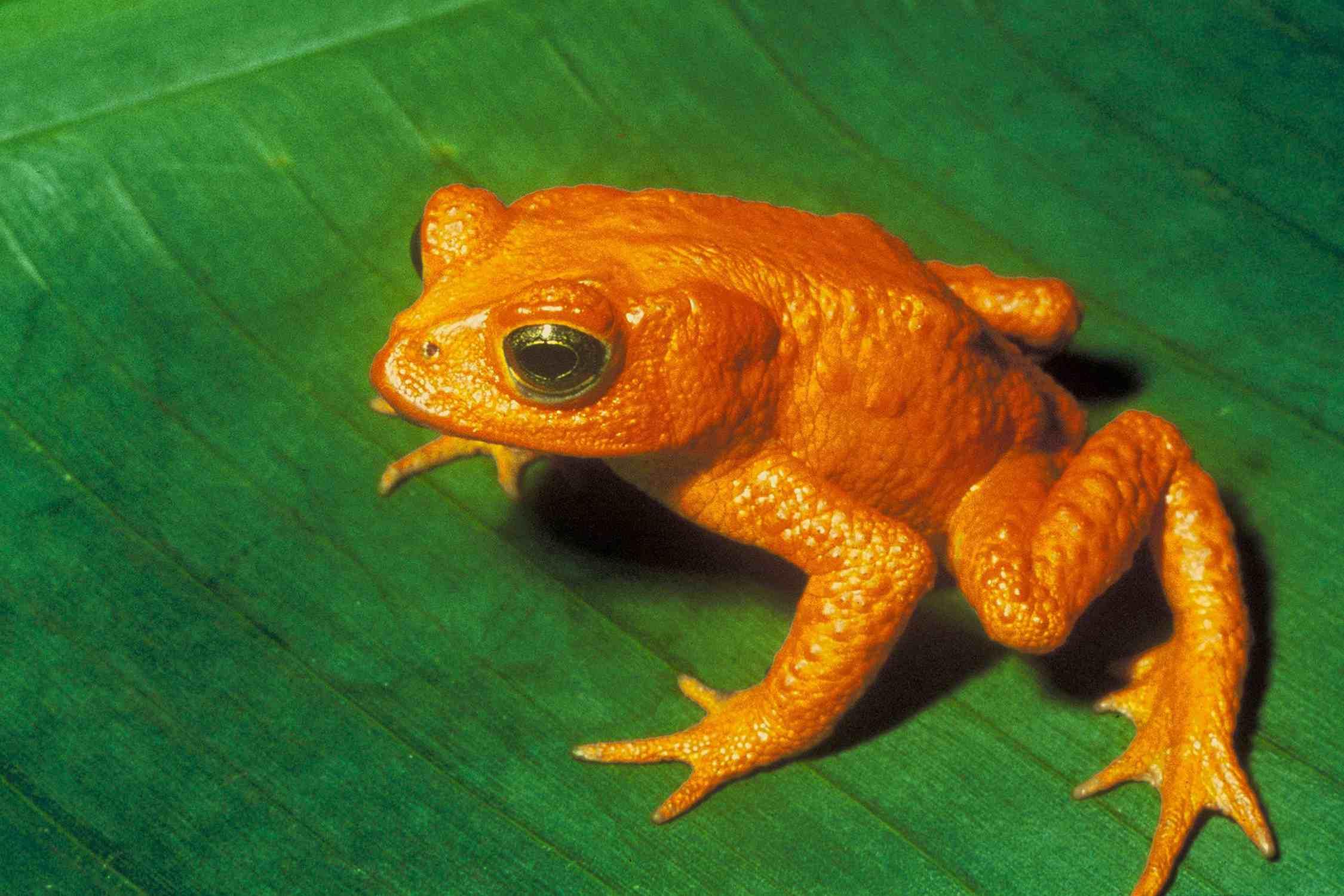 Golden toad (Bufo periglenes) on leaf.