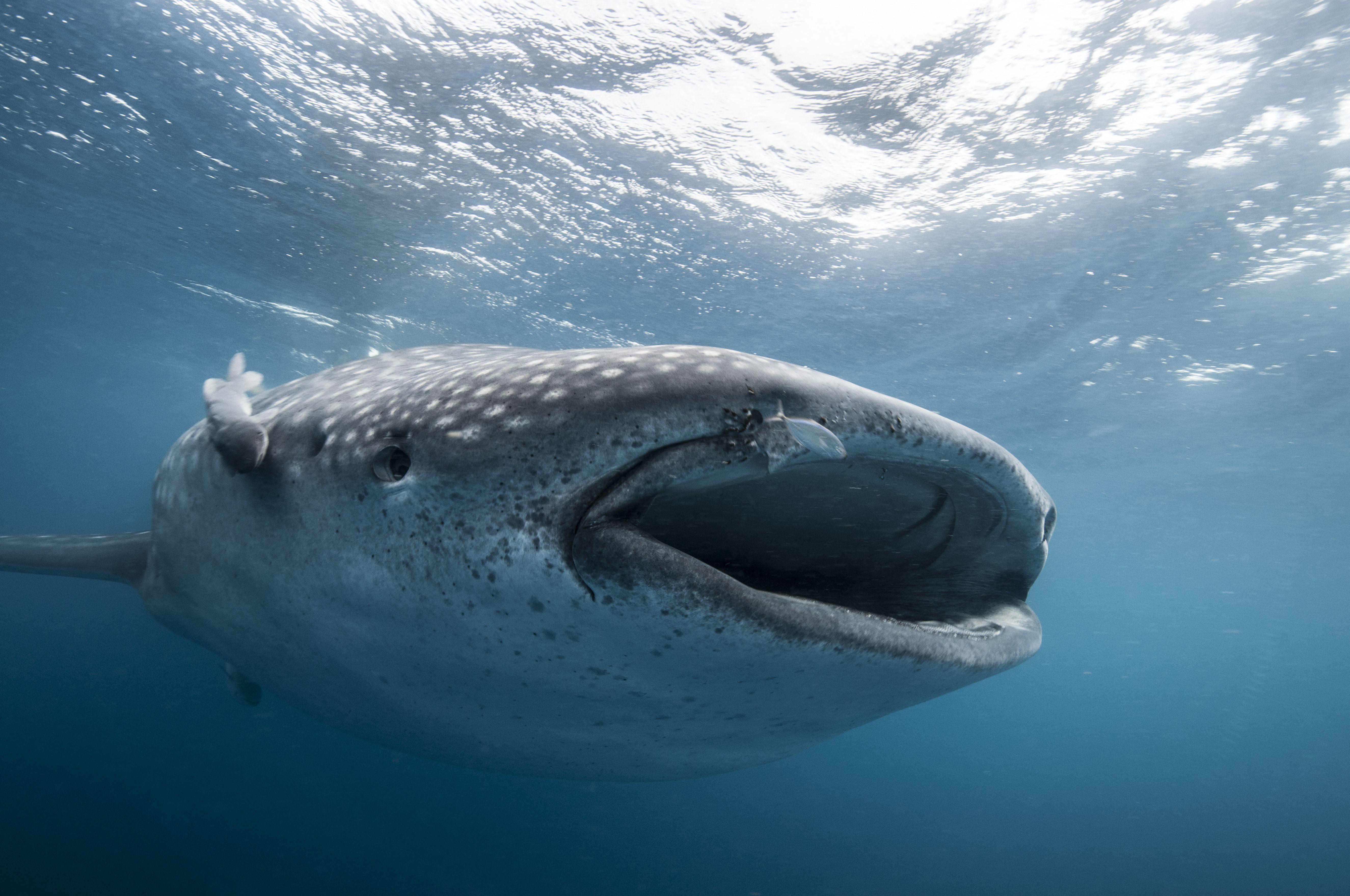 Whale shark feeding in Mexico