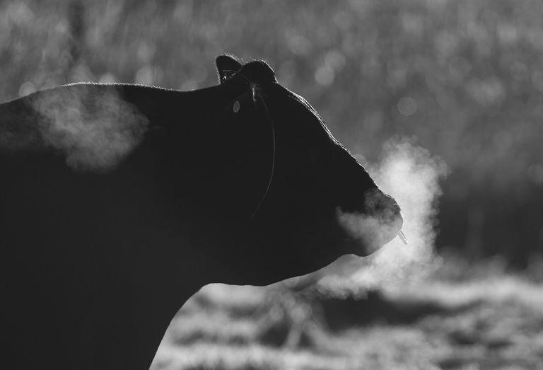 Steaming Bull