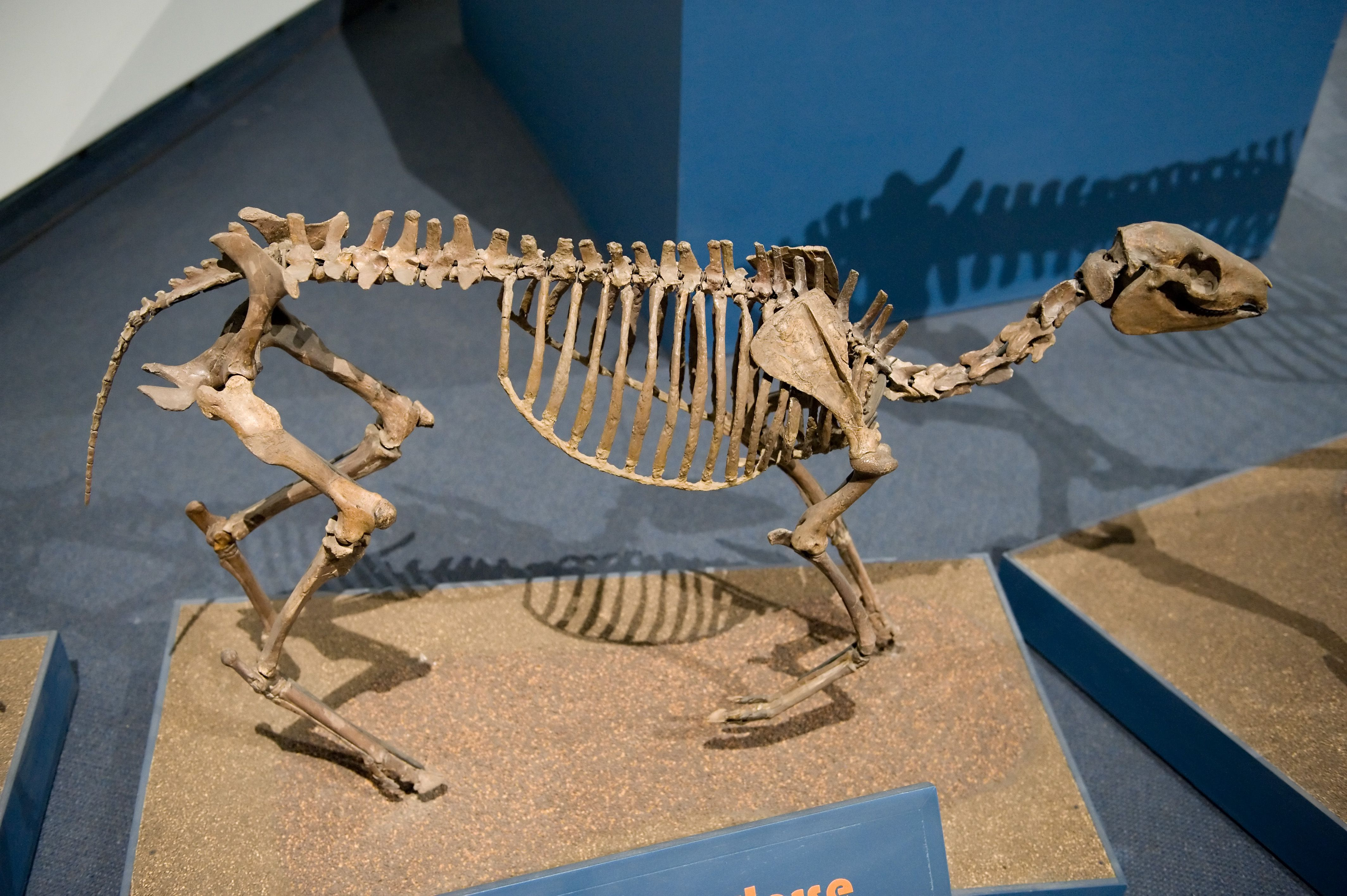 Miohippus (late ogliocene) skeleton