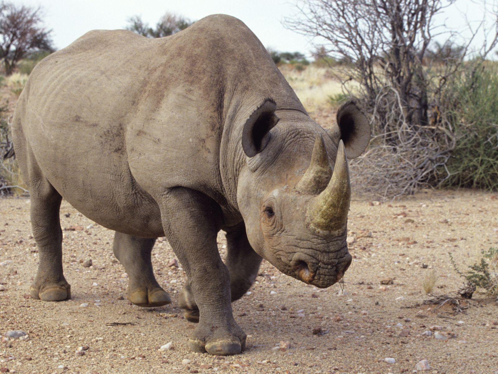 Rhinoceros Habitat Behavior And Diet