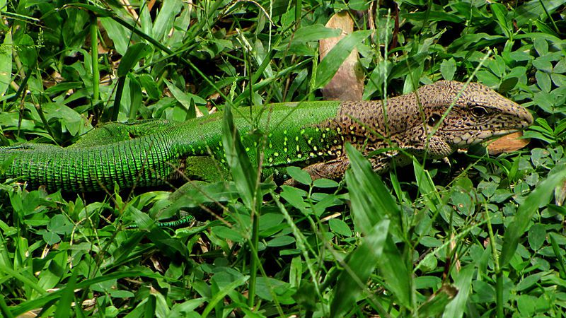 The tail end of the Martinique giant ameiva blends in with the grass