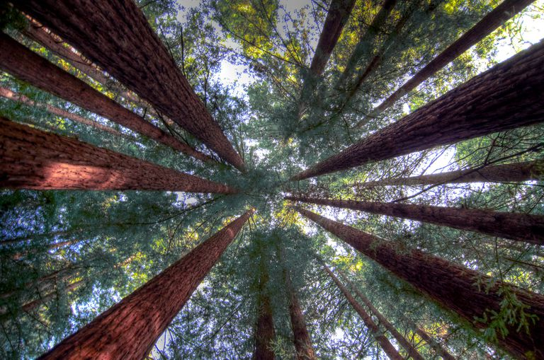 Looking up at the redwood trees while standing on the ground.