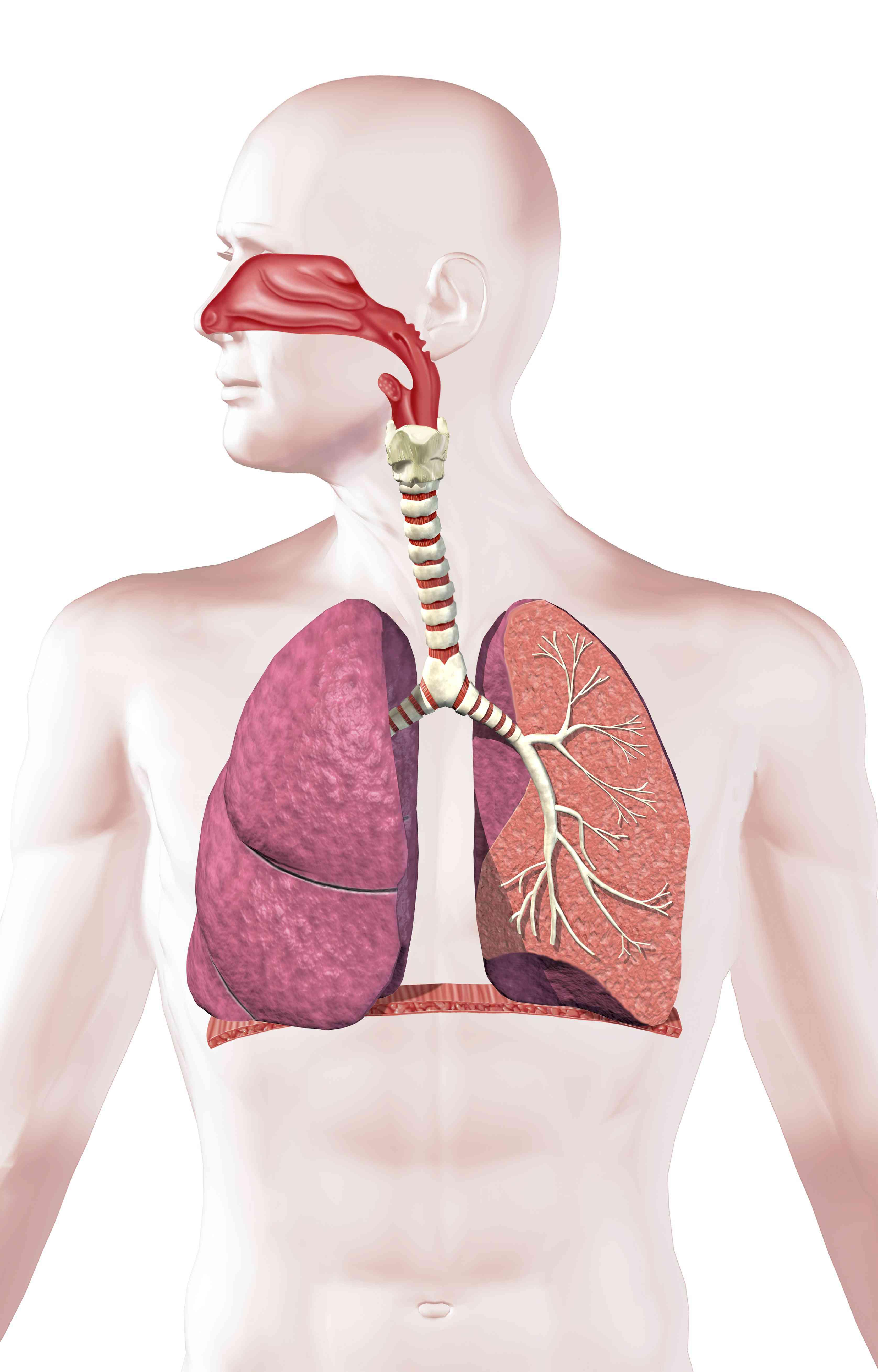 Digital illustration of the human respiratory system.