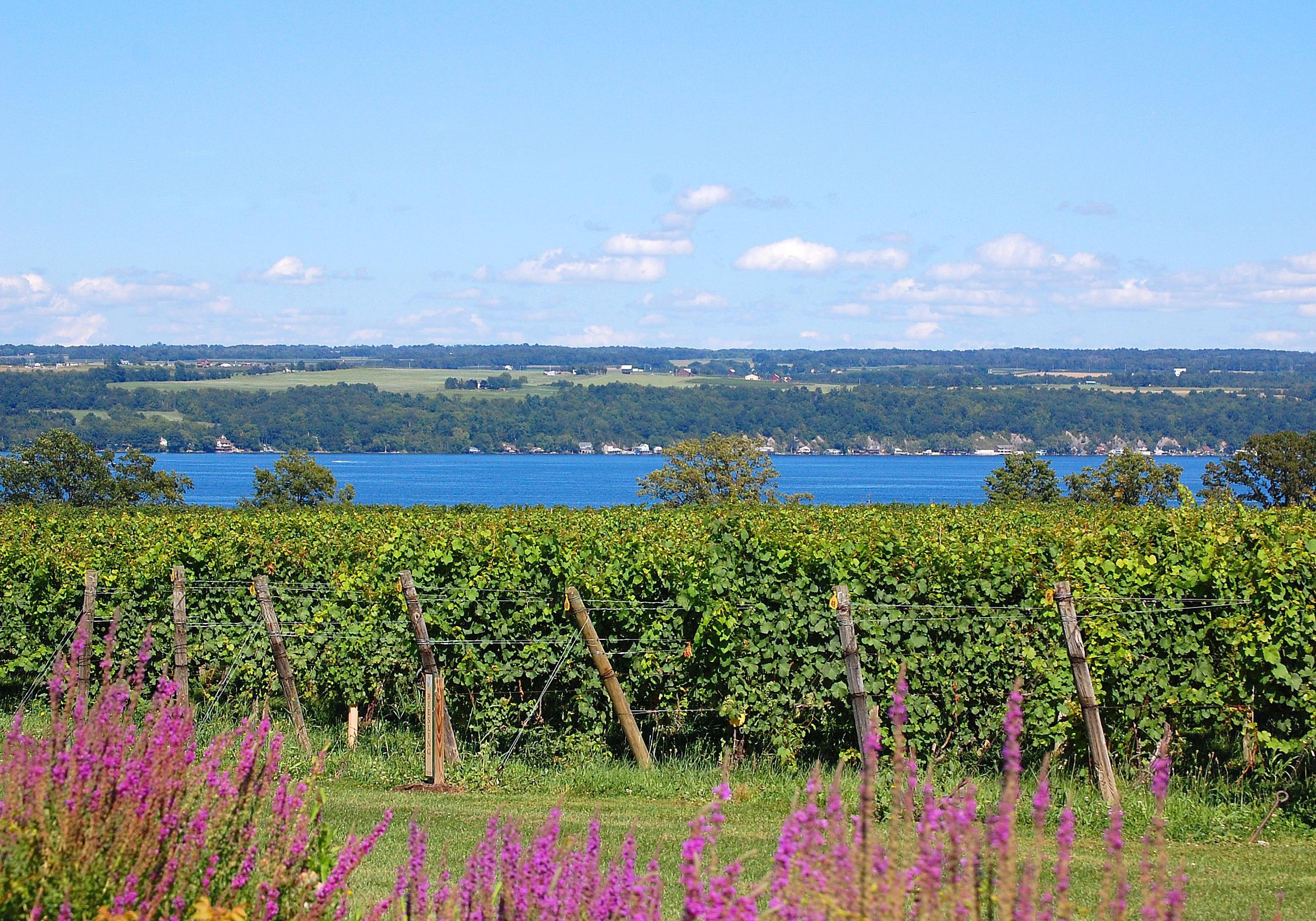 View of vineyards and Cayuga Lake