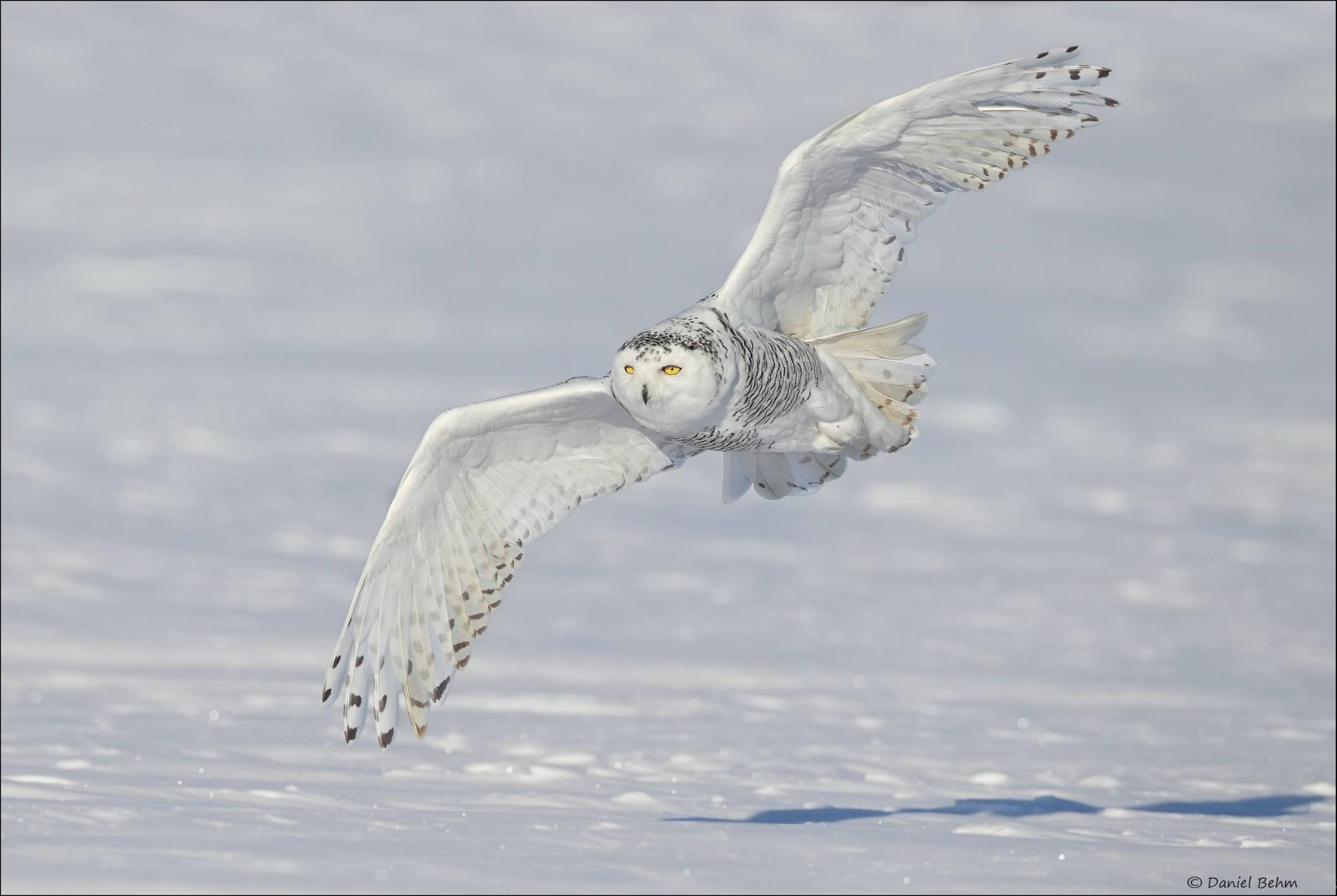 Snowy owl soaring over a winter landscape.