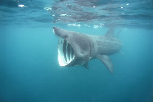 The basking shark is a filter feeder.