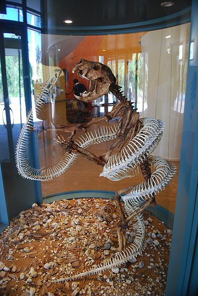 On display, a skeleton of a very long <i>Wonambi</i> snake wraps around its skeletal prey