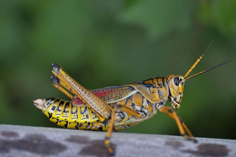 Colorful grasshopper.