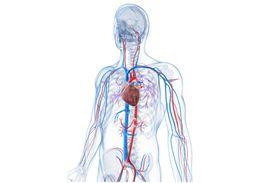 Vascular System - Veins