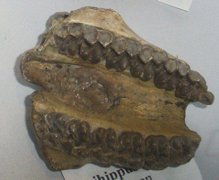 Epihippus bone