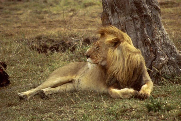 An African lion resting under a tree in the grass.