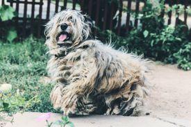 A shaggy dog
