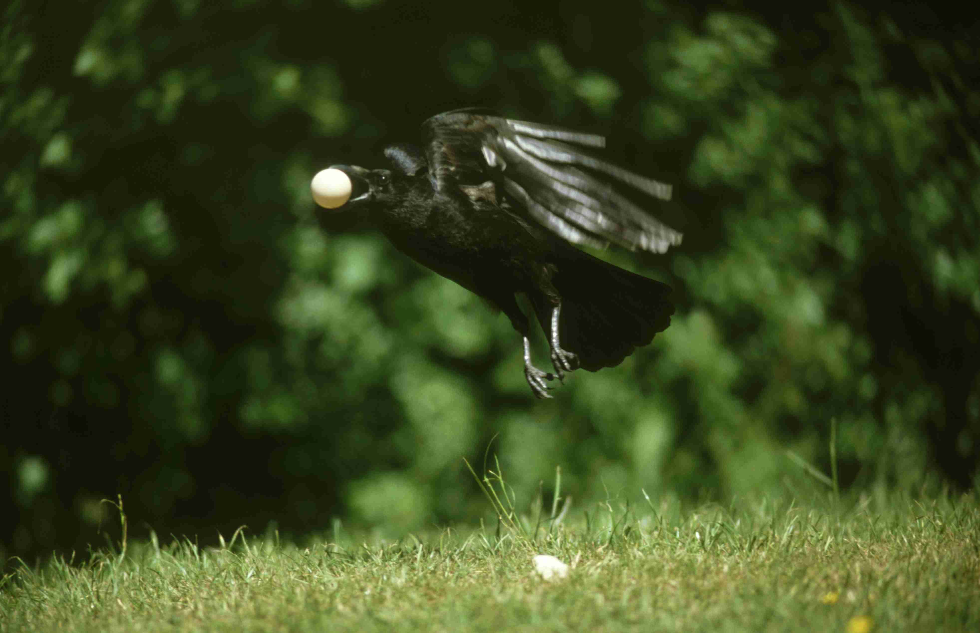 crow flying with egg in its mouth